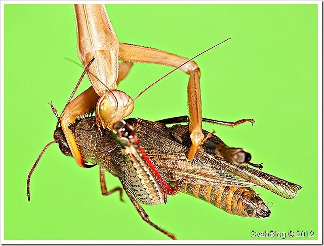Kudlanka nábožná (Mantis religiosa (Linnaeus, 1758))