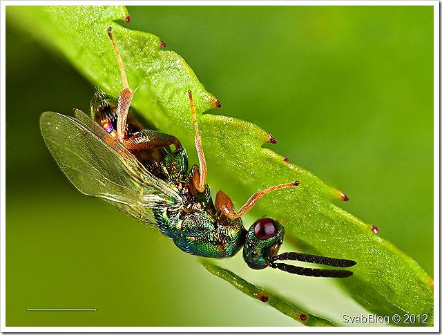 Krásenka šípková (Torymus bedeguaris), parazit u Žlabatky šípkové, samec