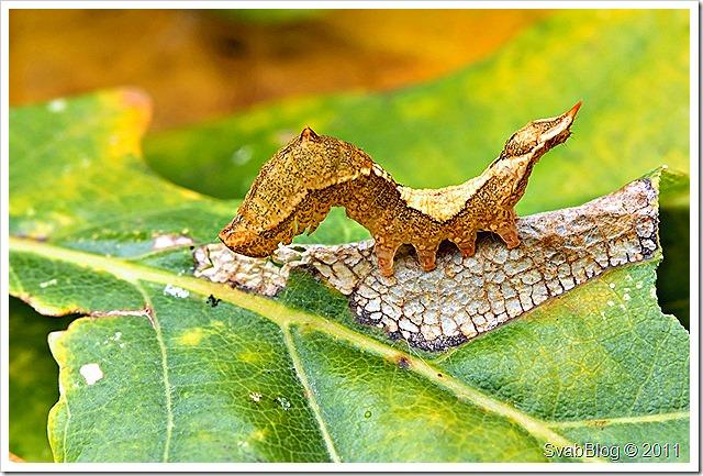 Watsonalla binaria (Srpokřídlec dubový)