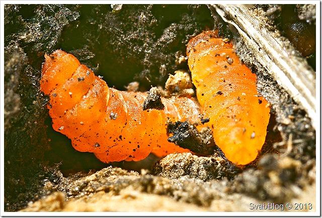 Bejlomorka ostružiníková (Lasioptera rubi (Schrank, 1803))