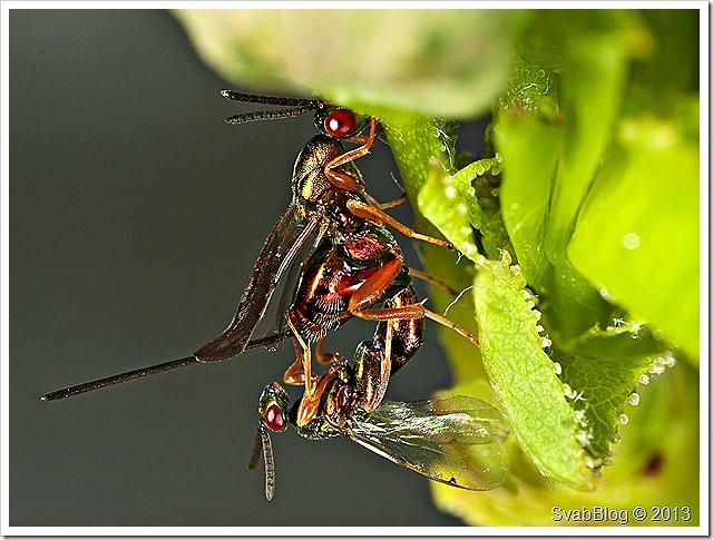 z halky D.rosae, samice 5.5 mm, samec 3mm