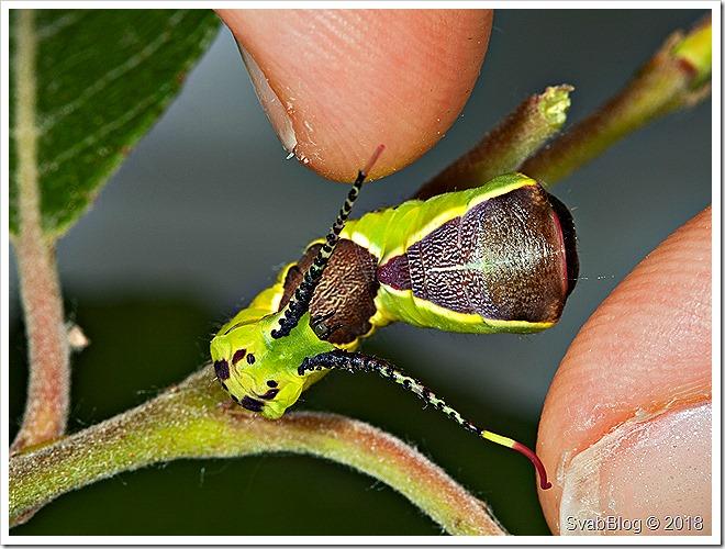 Hranostajník vrbový (Cerura vinula (Linnaeus, 1758))