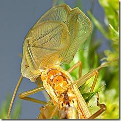 Cvrčivec révový (Oecanthus pellucens (Scopoli, 1763)) samec